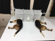 Fauci's taxpayer funded animal experiments in Tunisia,brain parasites