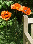 poppies by Buddhist House lawn