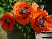 Poppies in The Buddhist House garden - a yearly treat